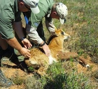 Dr Will Fowlds - Days as a Wildlife Vet | Rhino links | Scoop.it