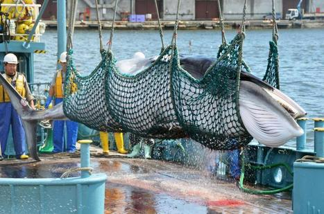 Norway Kills More Whales Than Japan and Iceland Combined, Report Finds | Ocean's news | Scoop.it