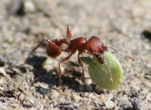 Les larcins des fourmis moissonneuses menacent la survie d'une rare plante à fleurs du désert   EntomoNews   Scoop.it