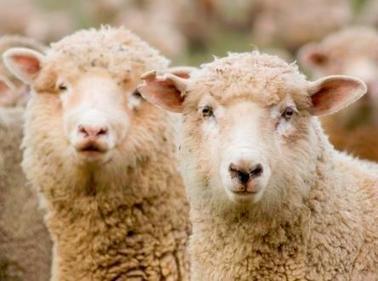 Le virus de Schmallenberg sévit dans plus de 1300 élevages français. | Actualité de l'Industrie Agroalimentaire | agro-media.fr | Scoop.it