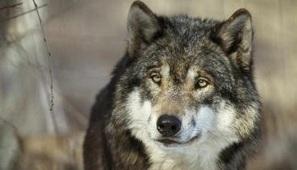 Pétition : Pour que vive le loup et que vive le pastoralisme ! | WOLFFLOW | Scoop.it