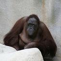 Surdoués ! Arrêtez de passer… pour des singes !   EIP   Scoop.it