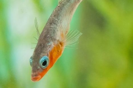 Study reveals male fish are judged on their DIY skills by females   NERC media coverage   Scoop.it