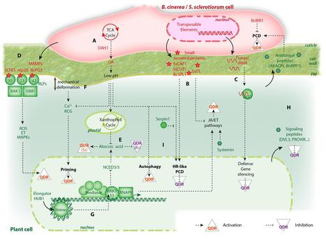 Frontiers | Emerging Trends in Molecular Interactions between Plants and the Broad Host Range Fungal Pathogens Botrytis cinerea and Sclerotinia sclerotiorum | Plant Biotic Interactions | Emerging Research in Plant Cell Biology | Scoop.it