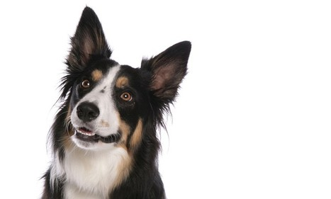 Top dog: Scientists teach border collie to understand sentences and 1,000 words | Animals R Us | Scoop.it