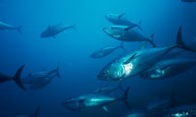 Tuna contaminated with Fukushima radiation found in California | Food for Thoughts | Scoop.it