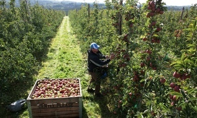 Ideal weather brings bumper English apple harvest | Scarcity, Opportunity cost, PPFs, Demand and Supply - Econ basics | Scoop.it