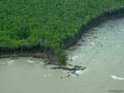 ECOLAB - En Guyane, l'expansion des mangroves dépend de variations océano-climatiques affectant l'Atlantique Nord | Actualité des laboratoires du CNRS en Midi-Pyrénées | Scoop.it