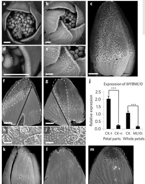 Trichomes control flower bud shape by linking together young petals | Emerging Research in Plant Cell Biology | Scoop.it
