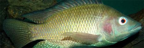 Découvrez le tilapia, le poisson le plus consommé au monde | Economie Responsable et Consommation Collaborative | Scoop.it