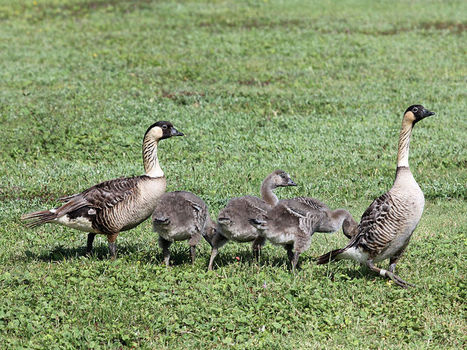 Endangered Hawaiian Geese Back in Oahu for first time in 300 years - Tech Times | http:www.scoop.it-t-Oahu | Scoop.it