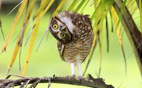 dendroica:<br/><br/>An inquisitive owl tilts her head to the side to... | Interesting Photos | Scoop.it