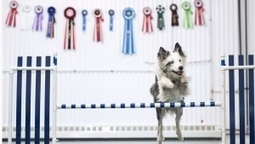 Deaf N.S. dog once thought to be untrainable wins champion agility title | Nova Scotia is Awesome! | Scoop.it