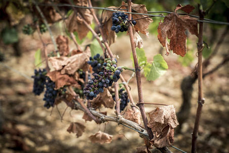 L'Italie redevient le premier producteur de vin, devant la France en 2015 | Le commerce du vin, entre mythe et réalité | Scoop.it