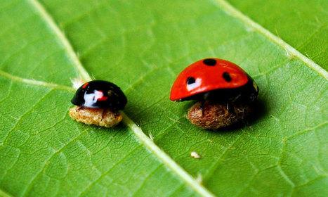 Cette larve de guêpe parasite des coccinelles pour les transformer en esclaves prêtes à tout pour protéger son cocon | pour mon jardin | Scoop.it
