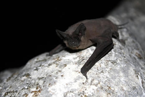 Give Us Guano or Give Us Death - OnEarth Magazine | Bat Biology and Ecology | Scoop.it