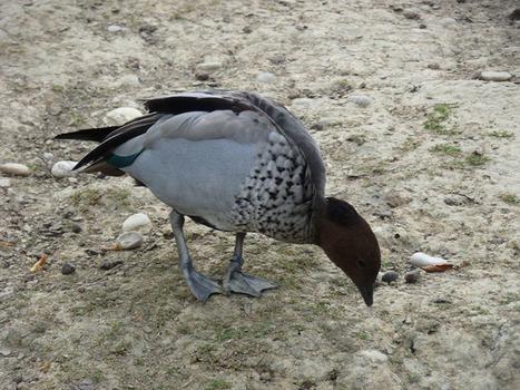 Photos de canards: Canard à crinière - Chenonetta jubata   Fauna Free Pics - Public Domain - Photos gratuites d'animaux   Scoop.it