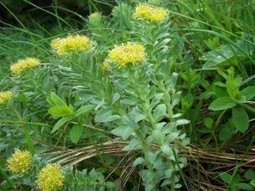 Rhodiola - Natural Stress Relief - Greenchedy | Herbs And Herbal Remedies | Scoop.it