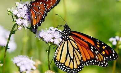 Tracking the causes of monarch butterfly decline - GMOs, Pesticides, Roundup | Monsanto: Cultivator of Deciet | Scoop.it
