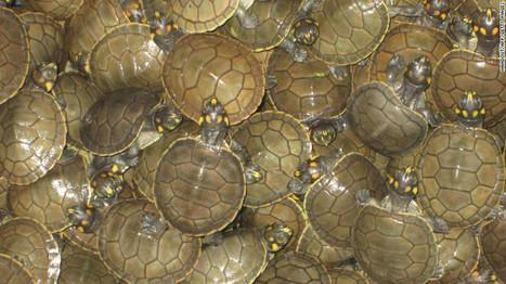Perú libera miles de tortugas bebé en la selva en un esfuerzo por salvar la especie   HISTORIA Y GEOGRAFÍA VIVAS   Scoop.it