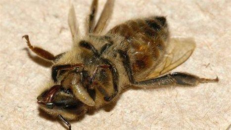 Un parasite qui rend les abeilles zombies présent auCanada | Chronique d'un pays où il ne se passe rien... ou presque ! | Scoop.it