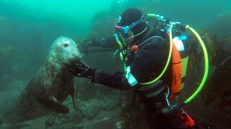 Divers meet extremely playful wild seals off the coast of England, film the whole adventure | André Ogiers | Scoop.it