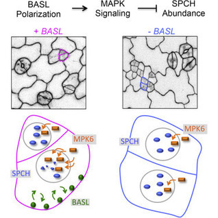 Phosphorylation of the Polarity Protein BASL Differentiates Asymmetric Cell Fate through MAPKs and SPCH | Plant Cell Biology and Morphogenesis | Scoop.it