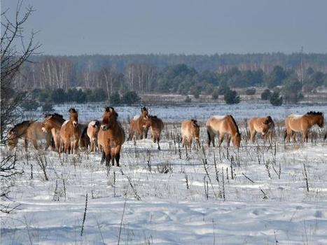 30 years after the Chernobyl disaster, the wildlife is flourishing | NERC media coverage | Scoop.it