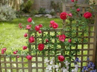 Miniature Roses - Where To Plant Them? - www.garden-design.me | Gardening | Scoop.it