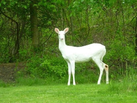 Albino Deer Seen In South Park | Pittsburgh Pennsylvania | Scoop.it