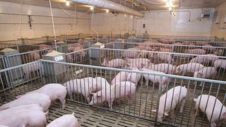 Unit 5: Why are all the pig farms exploding? | Horn APHuG | Scoop.it