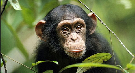 Empathetic chimps comfort each other like humans, study says | Empathy in other animals | Scoop.it