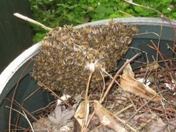 Why it's handy to know a local bee keeper   OZKYAI   Scoop.it