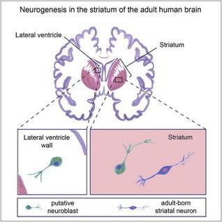 Neurogenesis in the Striatum of the Adult Human Brain: Cell | Social Neuroscience Advances | Scoop.it