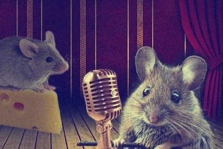 Female mice sing for sex   animals and prosocial capacities   Scoop.it