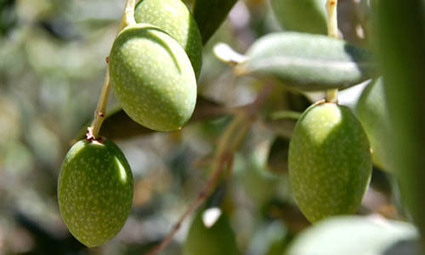L'olive, l'or vert méditerranéen | The Blog's Revue by OlivierSC | Scoop.it