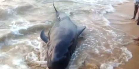 45 baleines retrouvées mortes sur une plage en Inde | Zones humides - Ramsar - Océans | Scoop.it