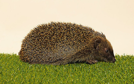 National Day of the Hedgehog: can the prickly favourite be saved from extinction? | Conservation | Scoop.it