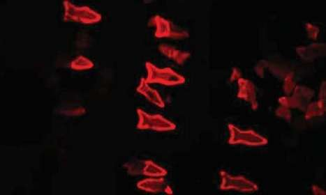 3D-printing microscopic fish: Team demonstrates novel method to build robots with complex shapes, functionalities | Post-Sapiens, les êtres technologiques | Scoop.it