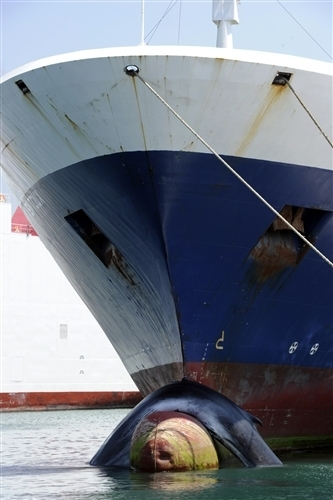 Whale struck by cargo ship between Tunisia and France | Whales | Scoop.it