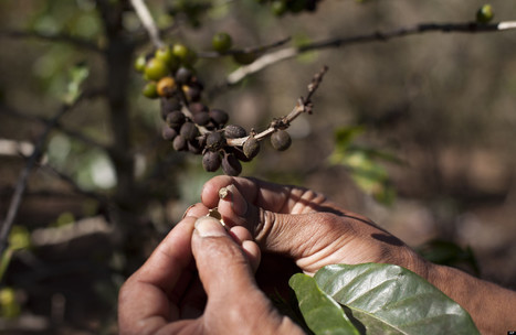 Coffee Rust Eradicated In Colombia's Growing Regions, Marking A First For ... - Huffington Post | Coffee Lovers | Scoop.it