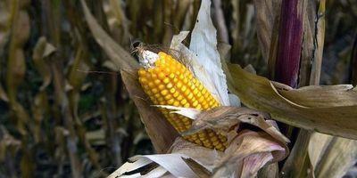 Autorisations d'OGM: NKM signe l'appel de Royal, Voynet et Lepage | Abeilles, intoxications et informations | Scoop.it