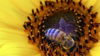 'Urgent' review of decline in bees | BIOSCIENCE NEWS | Scoop.it
