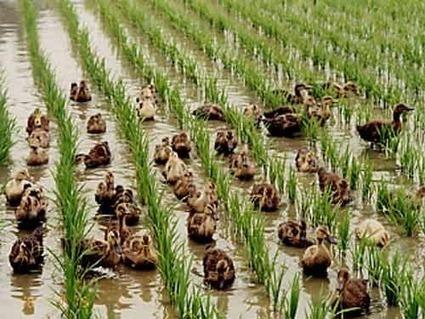 Rice Ducks. Now that's Creative in a Rural Economy! - Dan Taylor   ECONOMIES LOCALES VIVANTES   Scoop.it