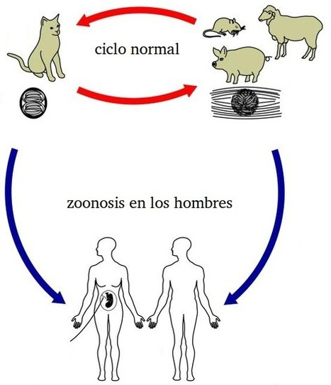 MedicinABC: Introducción del protozoo parásito T. gondii | toxoplasmmosis Toxoplasma gondii | Scoop.it