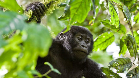 Dernière chance de signer pour les gorilles de Bwindi ! | Des infos sur notre planète : ecologie , biodiversité | Scoop.it