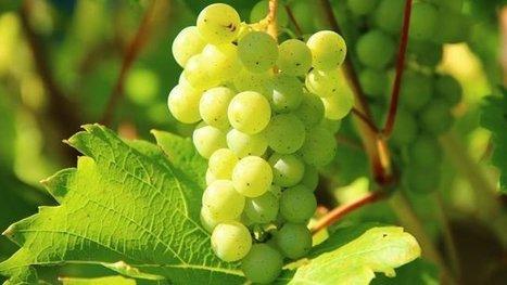 7500 demandes de nouvelles plantations de vignes ont été déposées en France | Le Vin et + encore | Scoop.it