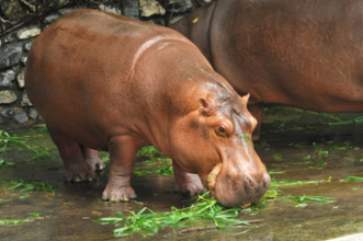 Liver Regeneration Depends On The Hippo (pathway) | Stem Cells & Tissue Engineering | Scoop.it
