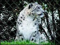 Snow Leopards, Elegant Asian Mountain Cats | Wildlife of India | Scoop.it