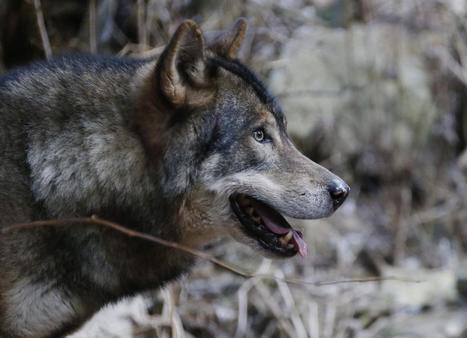 La peur du loup gagne du terrain | Loup | Scoop.it